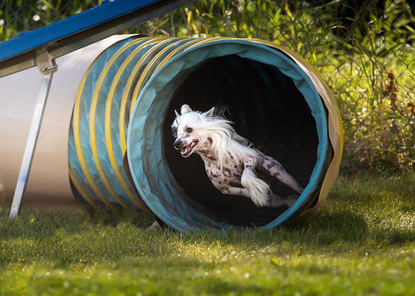 chinese crested dog running through agility tunnel