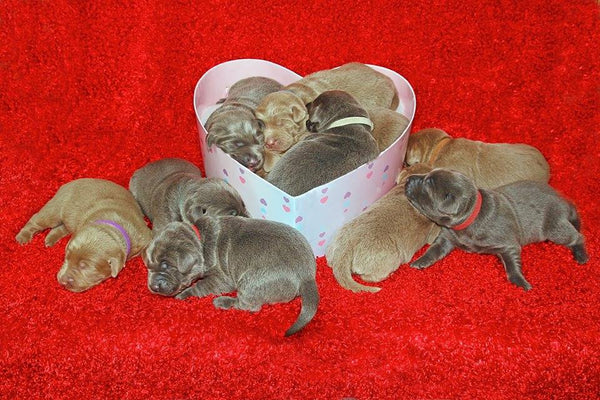 cute litter of small puppies laying in a heart shaped valentines day box