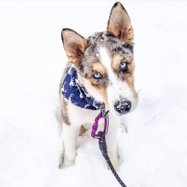cute merle puppy doing head tilt playing in snow