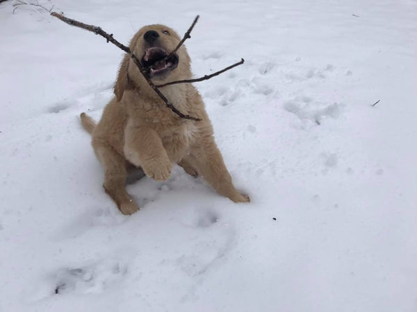 goofy golden retriever puppy playing with twig in snow