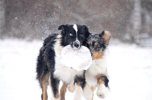 australian shepherd border collie puppy playing in snow chasing frisbee