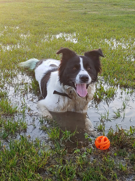 smiling border collie dog laying in mud puddle