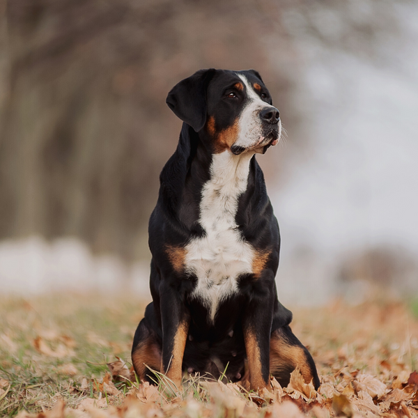 greater swiss mountain dog pup