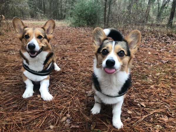 two corgis on a hike with their tongues sticking out