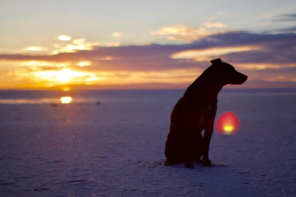 silhouette of a dog on a snowy walk with the sunset in background