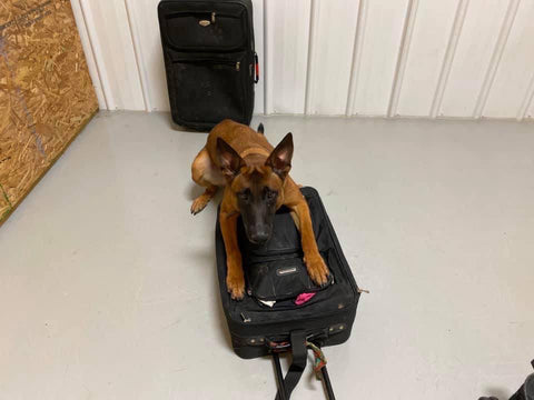 scent detection malinois with suitcase