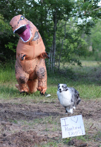 australian shepherd running from dinosaur costume