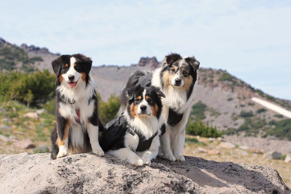 australian shepherds hiking