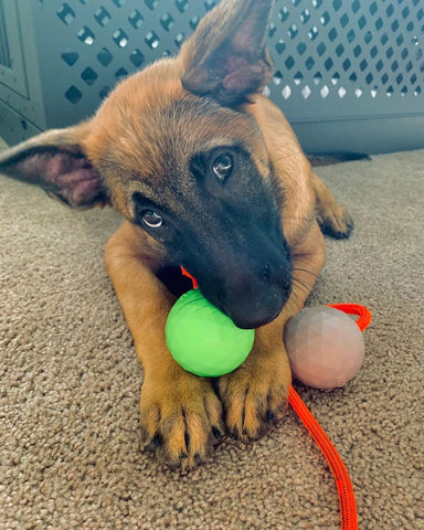 malinois puppy chewing on toy