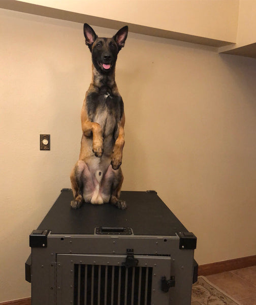 belgian malinois crate review