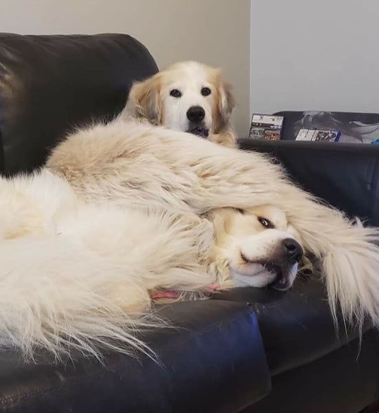 fluffy white dog laying on top of sleeping dog with tail over face