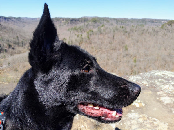 black dog at daniel boone national forest