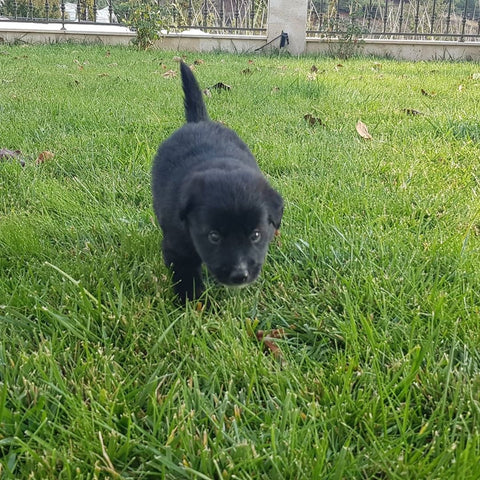 black puppy in grass