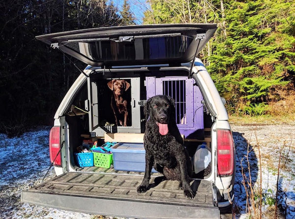 purple and gray collapsible impact dog crates in vehicle with labradors