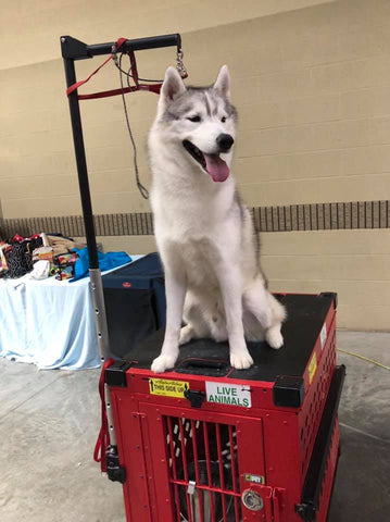 husky on dog grooming crate