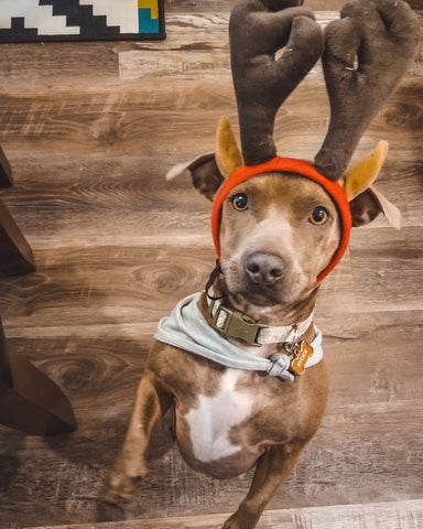 dog as reindeer
