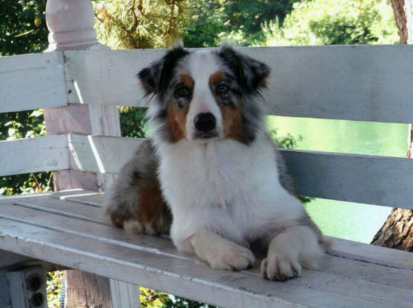australian shepherd sitting on park bench
