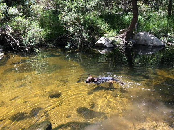dog swimming in river