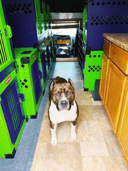 american staffordshire terrier in dog transport rv with stationary impact dog crates