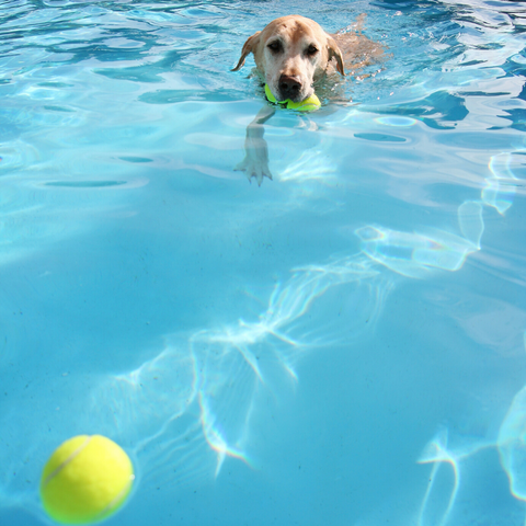 dog cooling off on hot day in pool