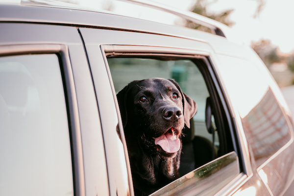 labrador with head out of car window