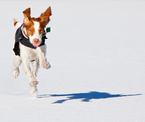 red white dog running in snow with jacket