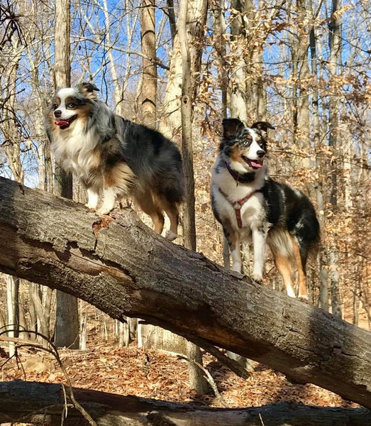 dogs climbing tree in woods