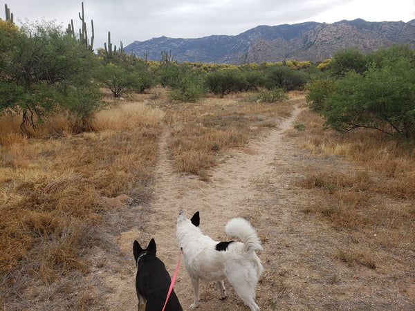 dogs hiking in desert