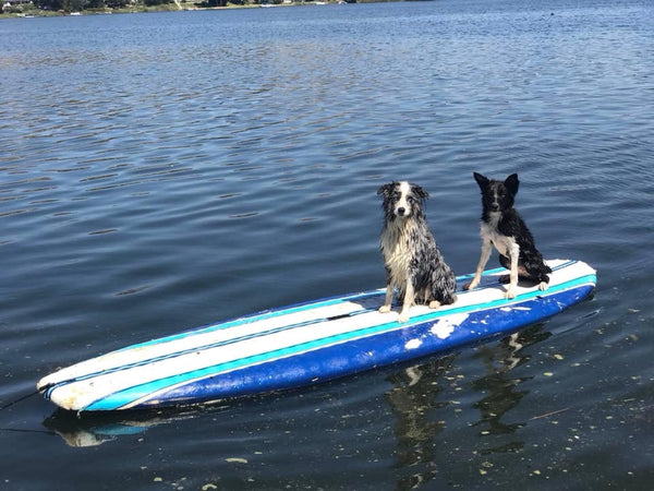 dogs riding on paddle board