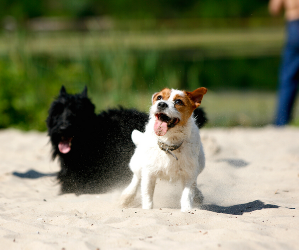 two dogs playing in sand