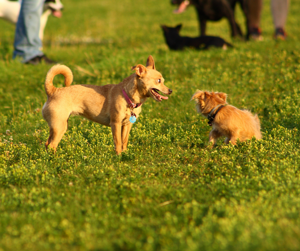 small dogs playing at dog park