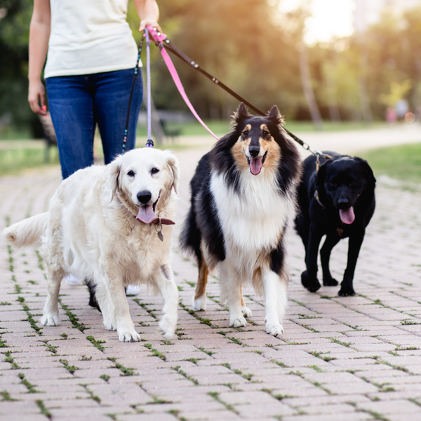 person walking three dogs as dog walker