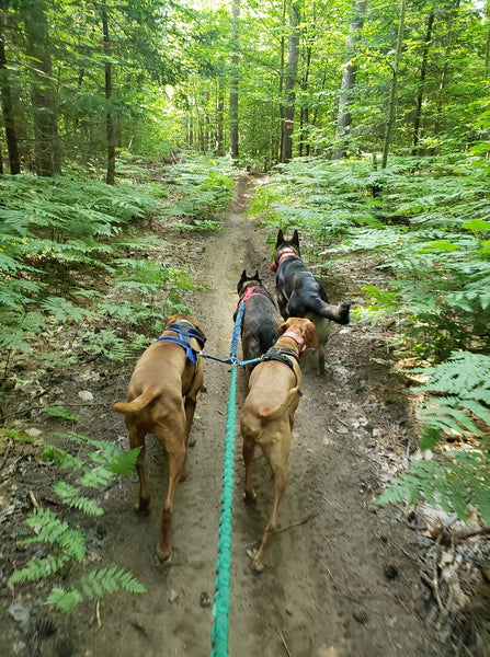 four dogs hiking in woods