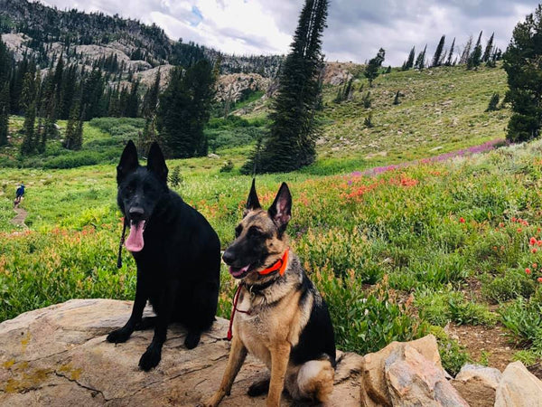 german shepherd dogs hiking on mountain