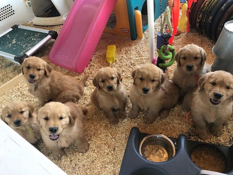 litter of golden retriever puppies