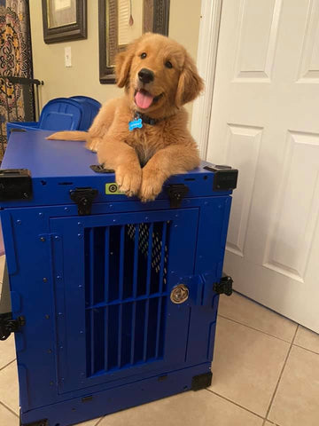 golden retriever puppy on blue collapsible impact crate