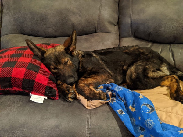 german shepherd dog sleeping on couch with head on pillow