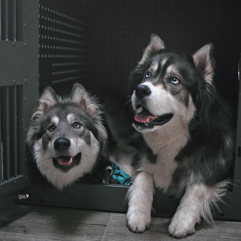 wolf dogs in high anxiety crate