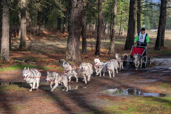 huskies mushing pulling scooter in fall
