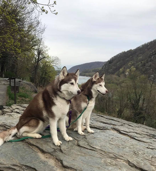 huskies on rock hike