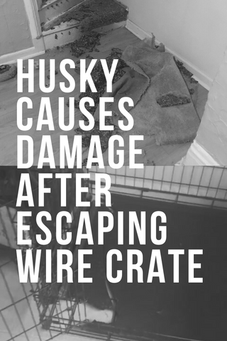 husky causes damage after escaping wire crate