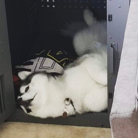 husky sleeping in high anxiety crate