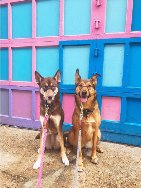 cute husky mix dogs in front of vibrant wall
