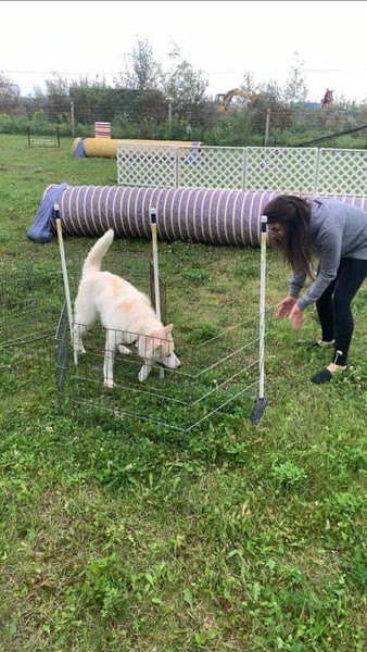 husky puppy practicing agility course