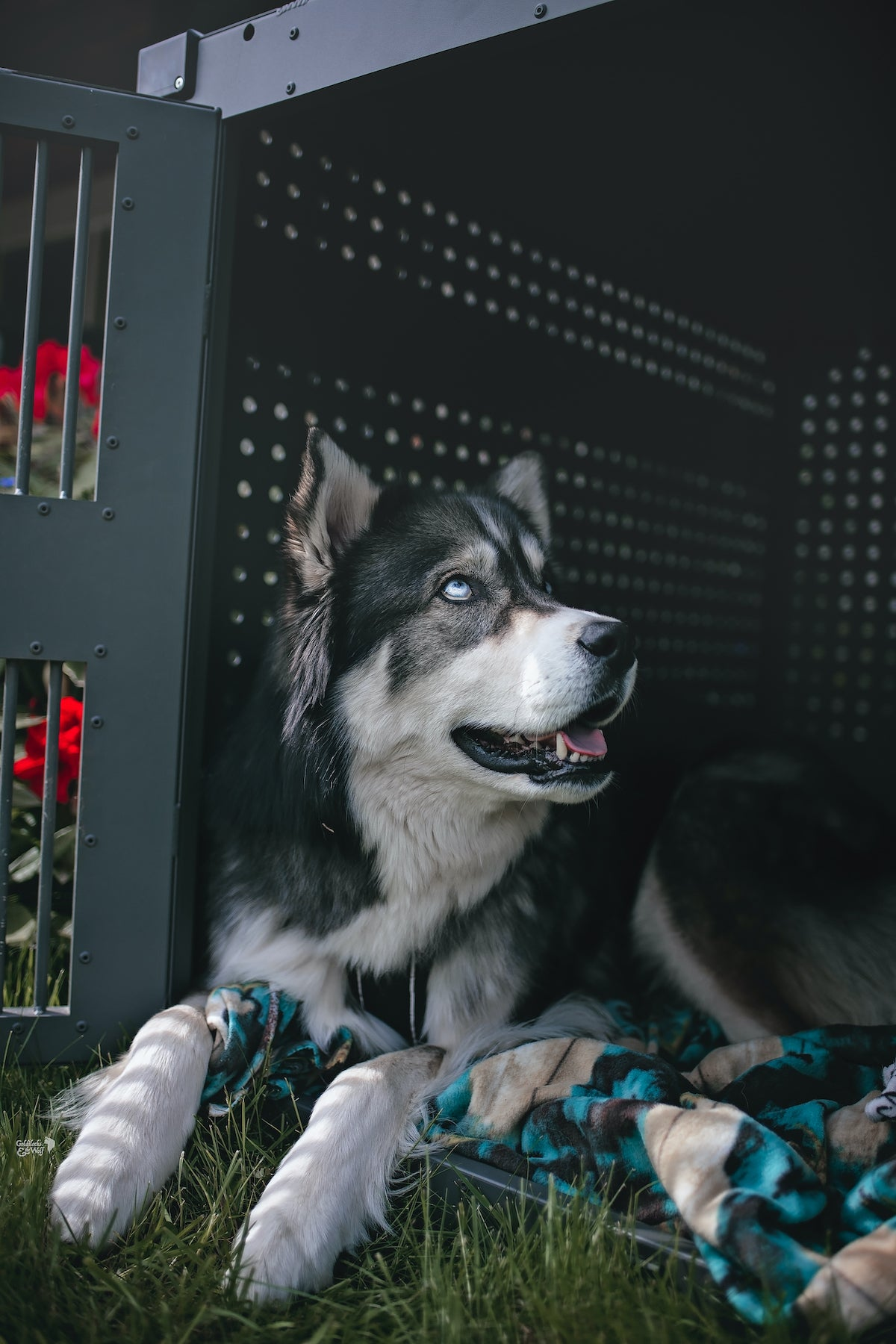 husky in high anxiety impact crate