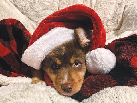 puppy in santa hat