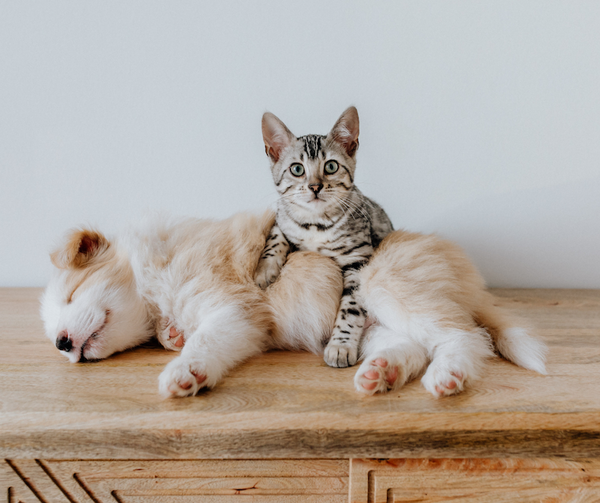 cute puppy sleeping and striped cat laying with puppy