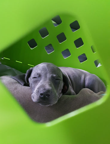 weimaraner puppy sleeping in lime green collapsible impact dog crate