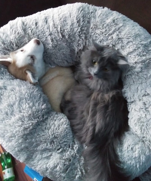 husky puppy and cat cuddling on dog bed