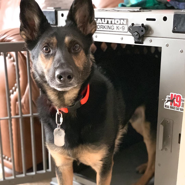 gsd mix in collapsible dog crate